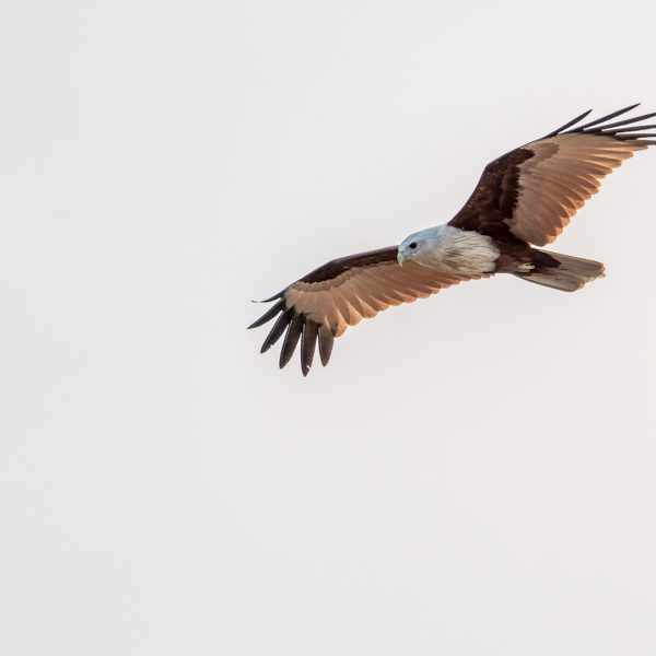 Brahminy Kite Hovers Above Gopalpur Beach