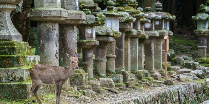 Deer in Nara Park Kyoto